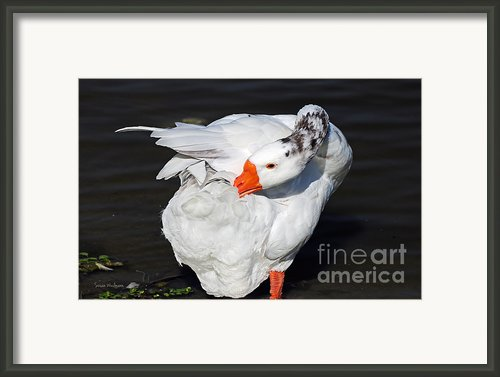 Hybrid Goose Grooming After A Swim Framed Print By Susan Wiedmann