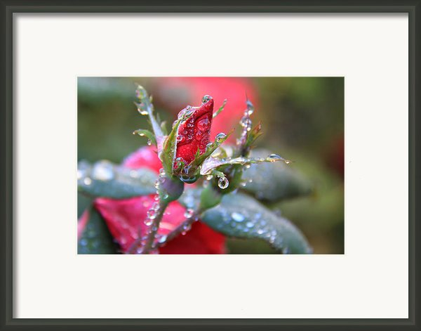 Ice Roses Framed Print By Leslie Kirk