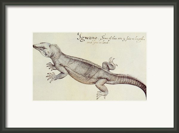 Iguana Framed Print By John White