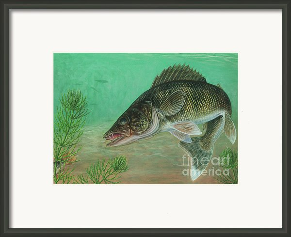 Illustration Of A Walleye Swimming Framed Print By Carlyn Iverson