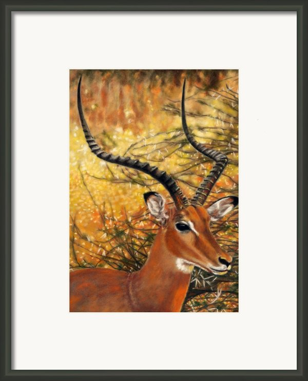 Impala At Sunset Framed Print By Carol Mccarty