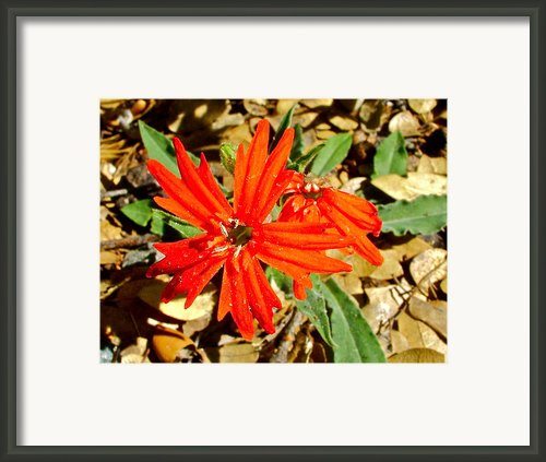Indian Pink In Park Sierra Framed Print By Ruth Hager