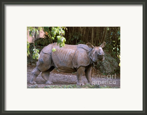 Indian Rhinoceros Framed Print By Mark Newman