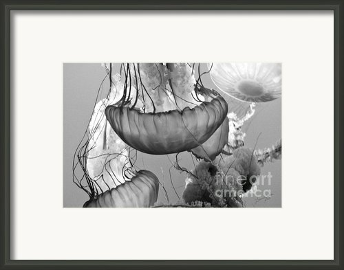 Jellyfish Floating By Framed Print By Author And Photographer Laura Wrede