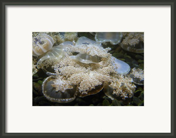 Jellyfish - National Aquarium In Baltimore Md - 121215 Framed Print By Dc Photographer