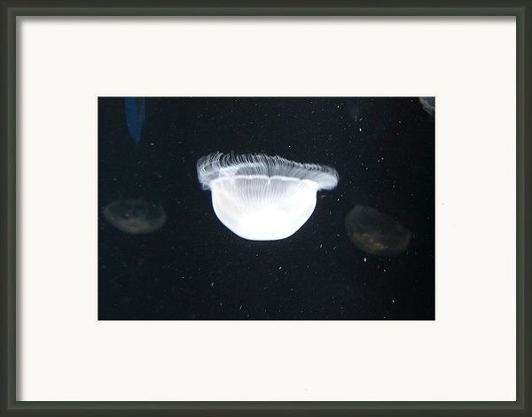 Jellyfish - National Aquarium In Baltimore Md - 121223 Framed Print By Dc Photographer