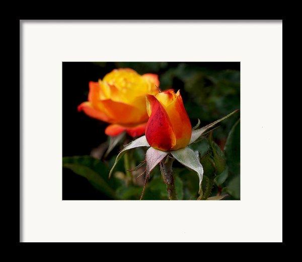 Judy Garland Rose Framed Print By Rona Black