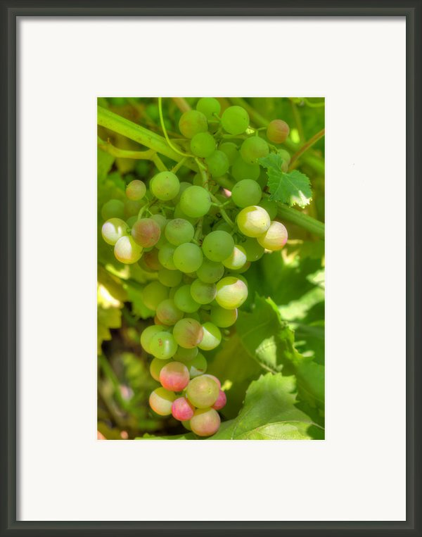 Just A Little More Time On The Vine Framed Print By Heidi Smith