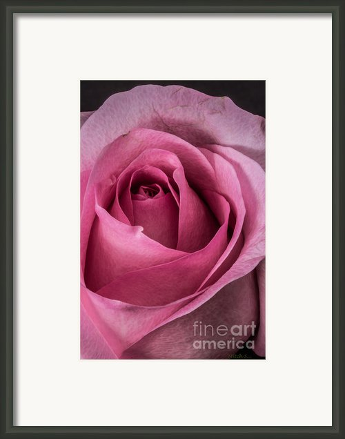 Just A Rose Framed Print By Mitch Shindelbower