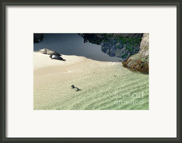 Just Born Baby Sea Lion Pup With Mom And Dad Napping On The Beach Framed Print By Artist And Photographer Laura Wrede