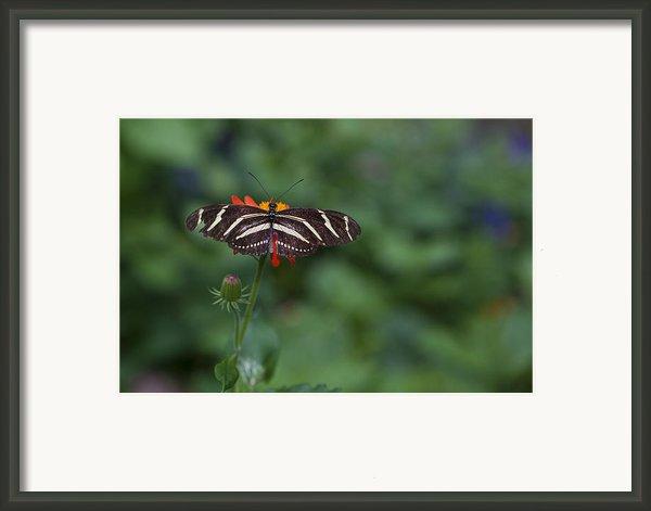 Kanapaha Butterfly I Framed Print By Charles Warren