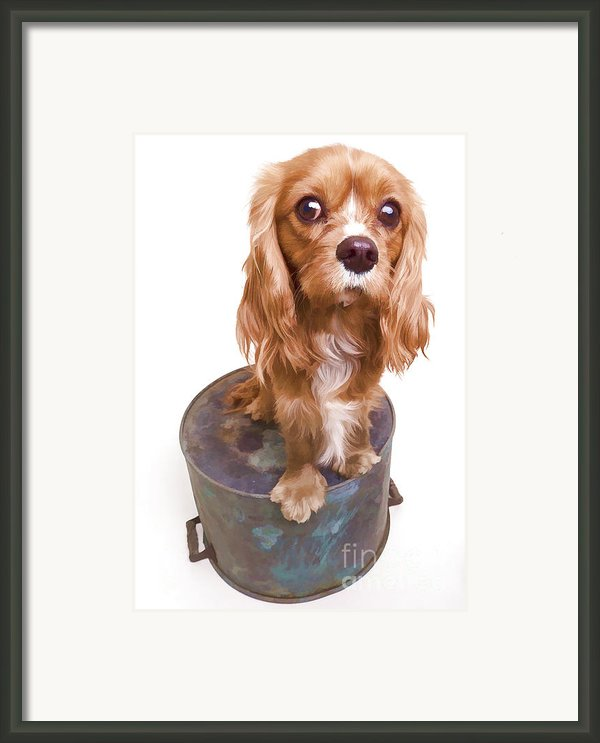 King Charles Spaniel Puppy Framed Print By Edward Fielding