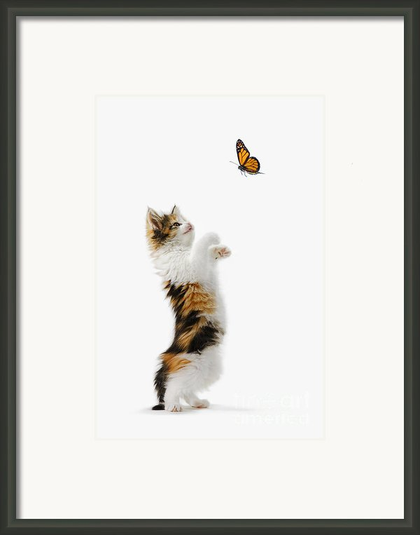 Kitten And Monarch Butterfly Framed Print By Wave Royalty Free