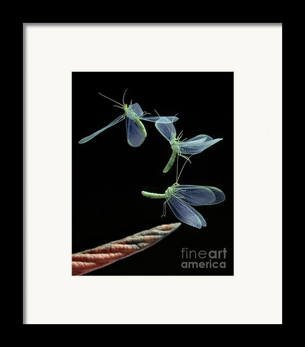 Lacewing Taking Off Framed Print By Stephen Dalton