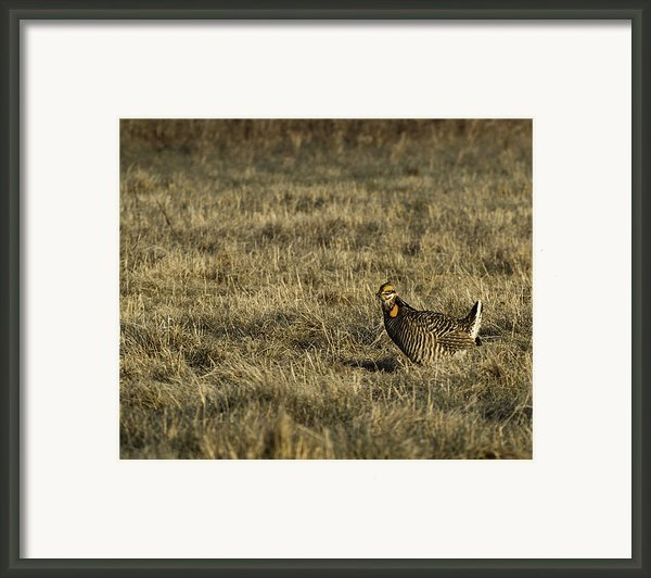 Last Prairie Chicken On The Booming Grounds  Framed Print By Thomas Young