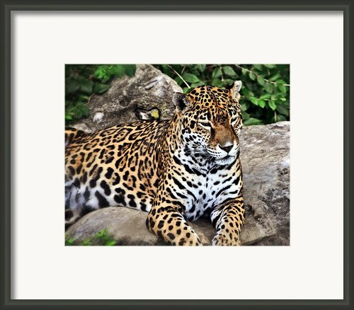 Leopard At Rest Framed Print By Marty Koch