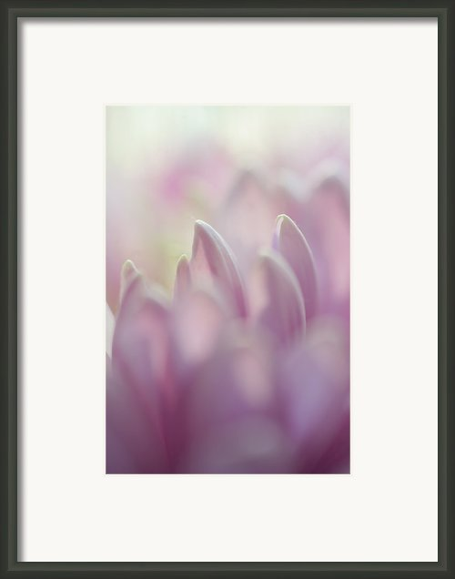 Light Impression 1. Pink Chrysanthemum  Framed Print By Jenny Rainbow