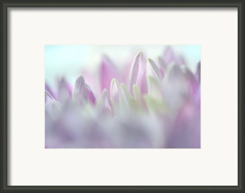 Light Impression 2. Pink Chrysanthemum  Framed Print By Jenny Rainbow