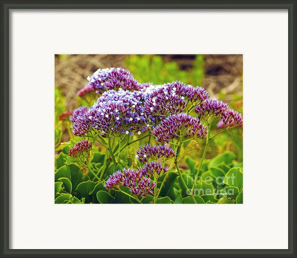 Limonium - Statice Framed Print By Author And Photographer Laura Wrede