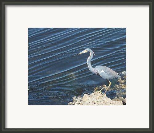 Little Blue Heron Ii Framed Print By Anna Villarreal Garbis