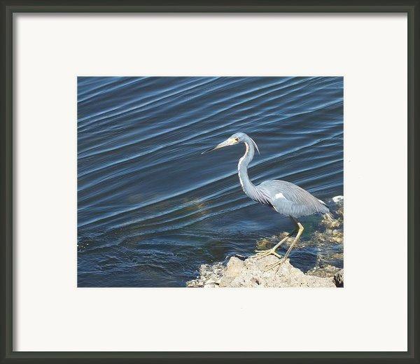 Little Blue Heron Ii Framed Print By Anna Villarreal Garbis