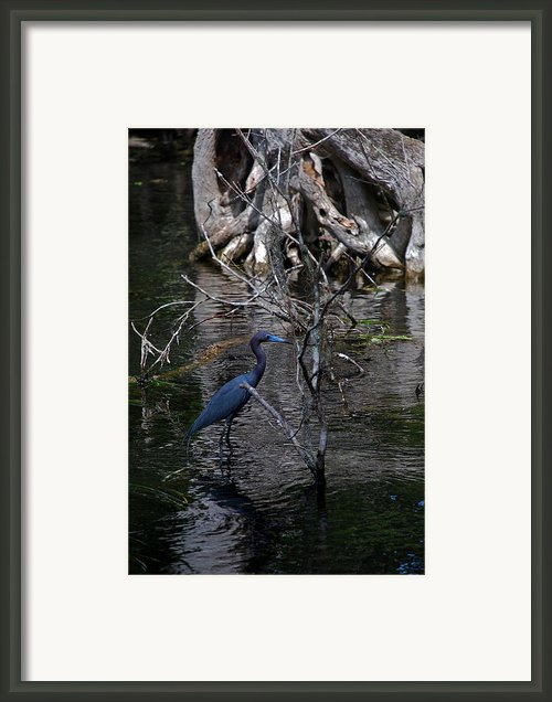 Little Blue Heron Framed Print By Skip Willits