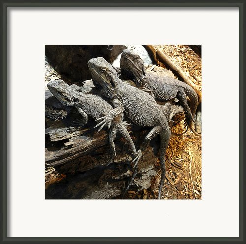 Lizards Framed Print By Les Cunliffe