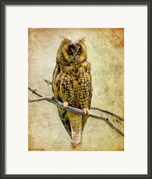 Long Eared Owl Framed Print By Ray Downing