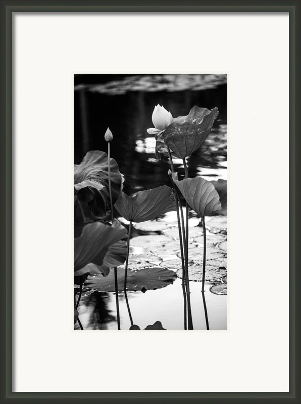 Lotuses In The Pond I. Black And White Framed Print By Jenny Rainbow