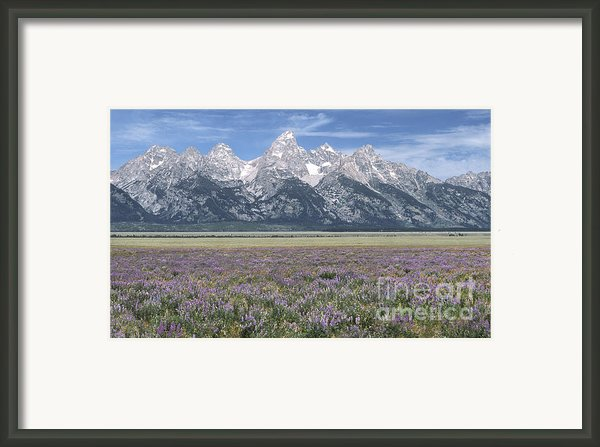 Lupine And Grand Tetons Framed Print By Sandra Bronstein