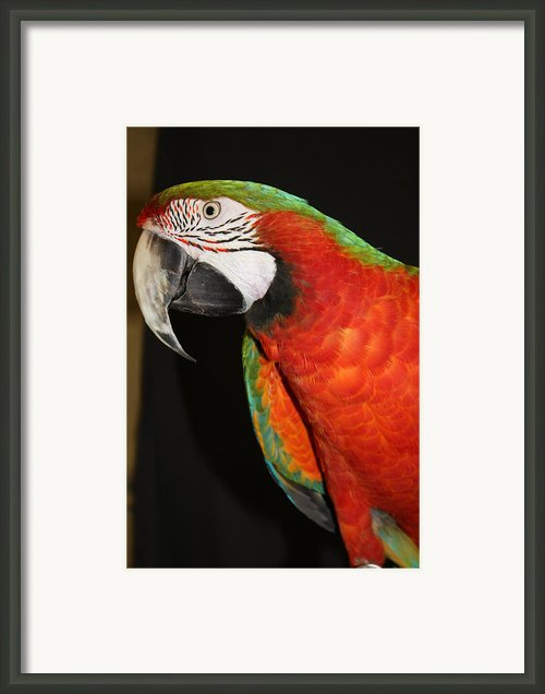 Macaw Profile Framed Print By John Telfer