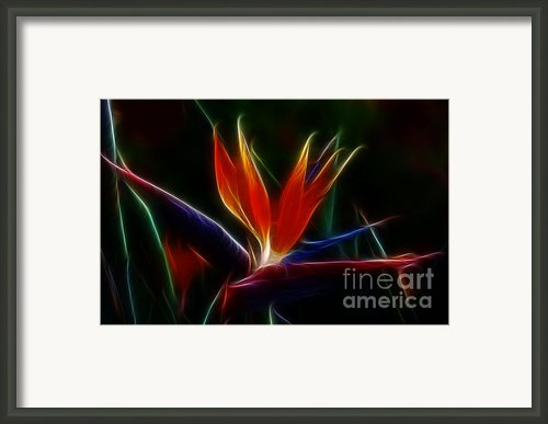 Magical Bird Of Paradise Framed Print By Sandra Bronstein