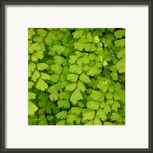 Maidenhair Fern Framed Print By Art Block Collections