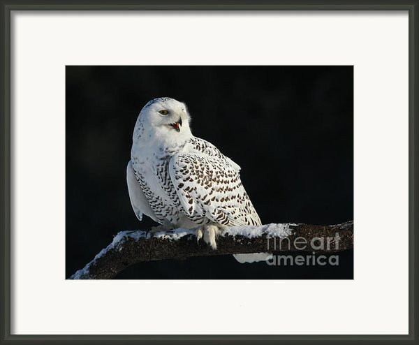 Majestic Whisper - Snowy Owl Framed Print By Inspired Nature Photography By Shelley Myke
