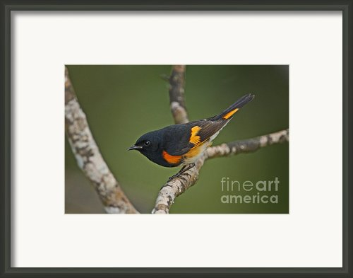 Male American Redstart Framed Print By Neil Bowman