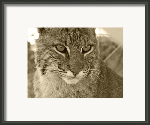Male Bobcat - Sepia Framed Print By Jennifer  King