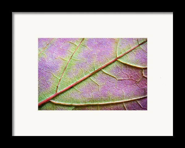 Maple Leaf Macro Framed Print By Adam Romanowicz