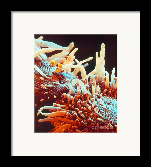 Marigold Petal Sem Framed Print By Eye Of Science