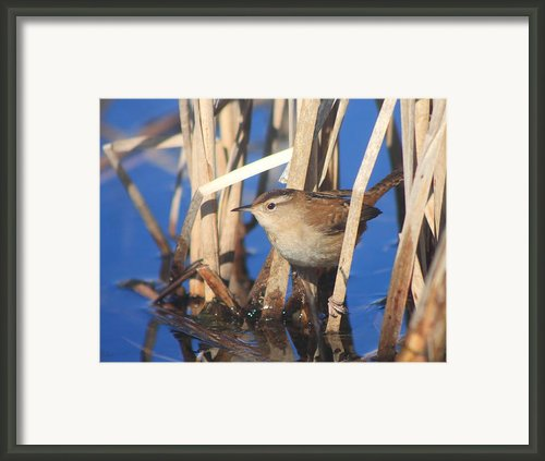 Marsh Wren Framed Print By John Burk