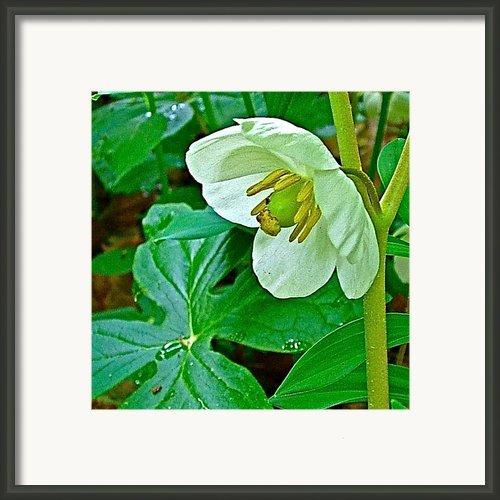 Mayapple In Donivan Slough Along Natchez Trace Parkway-ms Framed Print By Ruth Hager