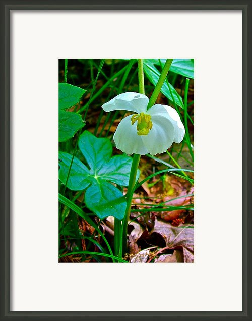 Mayapple In Donivan Slough At Mile 283 Of Natchez Trace Parkway-ms Framed Print By Ruth Hager