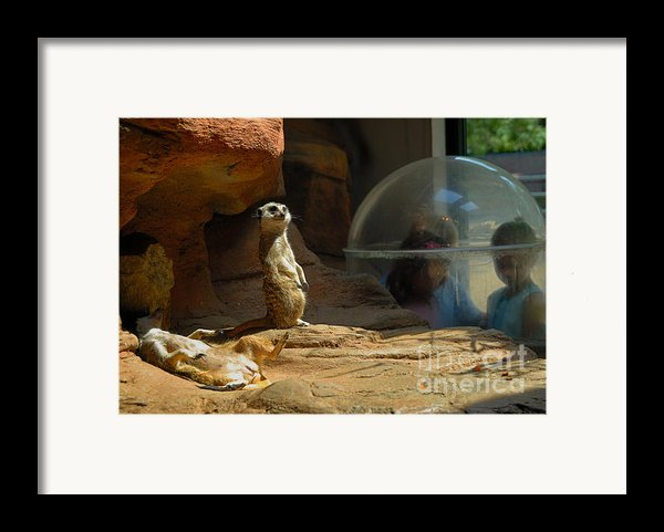 Meerkat Manners Framed Print By Amy Cicconi