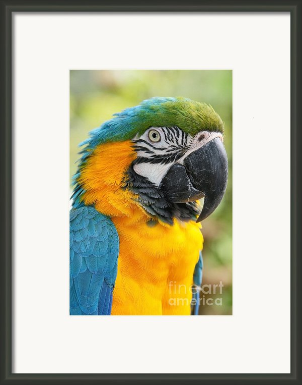 Mele E Manono Ia Ea Macao Tropical Birds Of Hawaii Framed Print By Sharon Mau