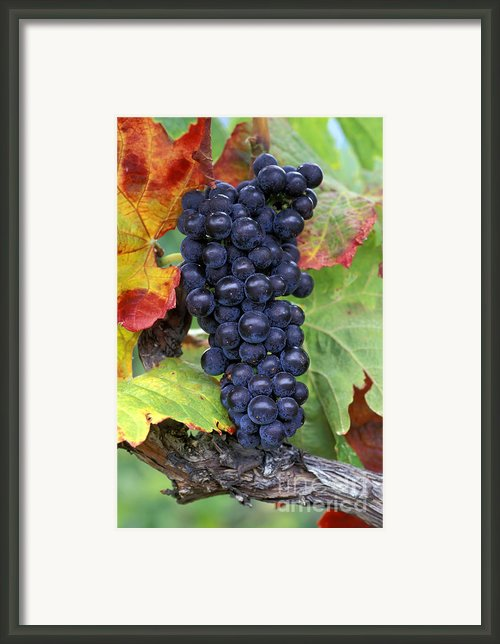 Merlot Grapes Framed Print By Kevin Miller
