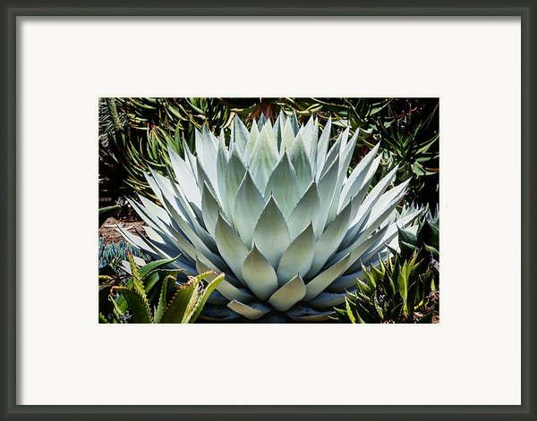 Mescal Framed Print By Kelley King