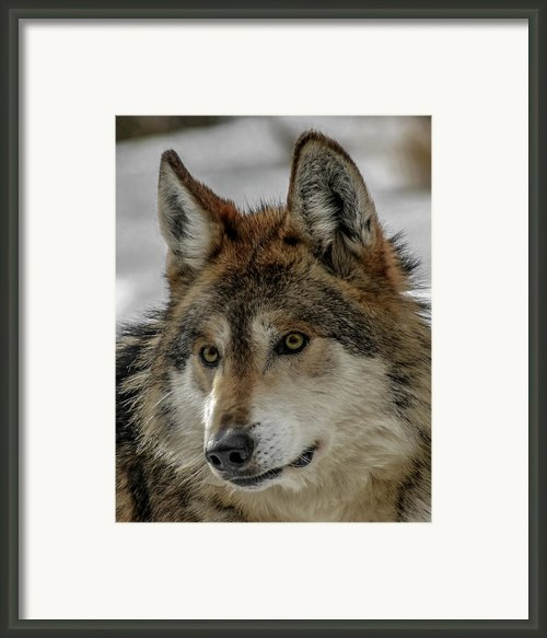 Mexican Grey Wolf Upclose Framed Print By Ernie Echols