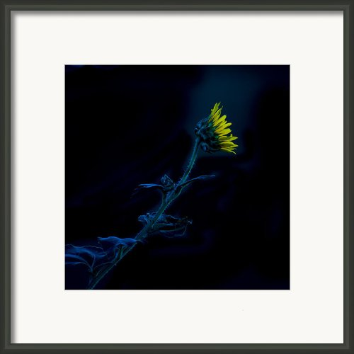 Midnight Sunflower Framed Print By Darryl Dalton