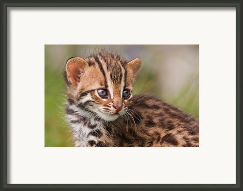 Miniature Leopard Framed Print By Ashley Vincent