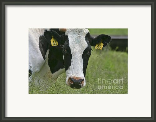 Moo Moo Eyes Framed Print By Deborah Benoit