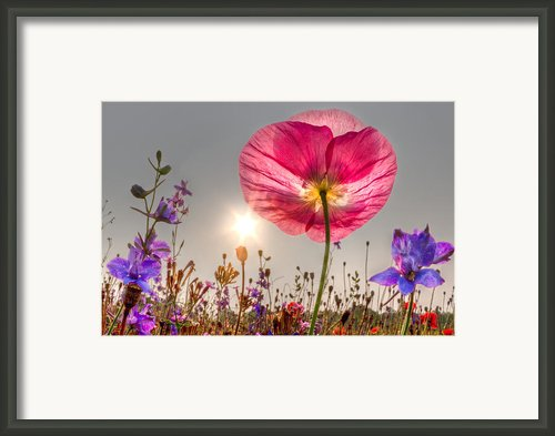 Morning Pink Framed Print By Debra And Dave Vanderlaan